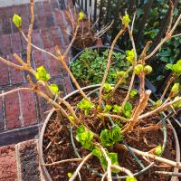 Experiment - Hydrangea [Hortensia / H. Macrophylla]